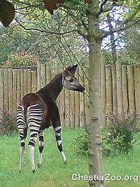 Creative Commons Photo Of Okapi Thanks To ChesterZoo